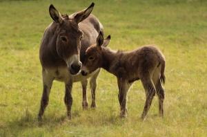 donkey sababurg_07